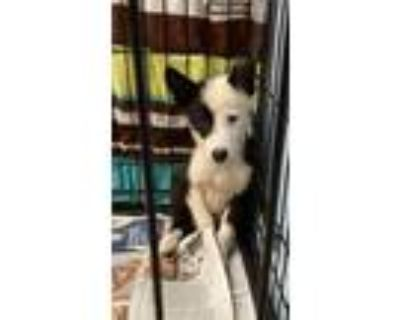 Adopt John a Black - with White Husky / Terrier (Unknown Type