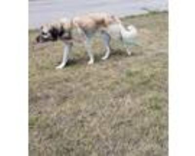 Adopt Remy a Tan/Yellow/Fawn Great Pyrenees / Mixed dog in Colorado Springs
