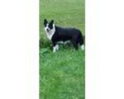 Adopt Charger a Border Collie