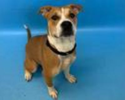 Adopt Cheesecake a Tan/Yellow/Fawn American Pit Bull Terrier / Mixed dog in