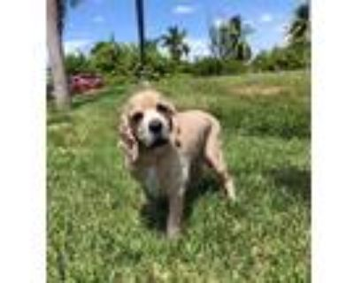 Adopt Bentley a Tan/Yellow/Fawn Cocker Spaniel / Mixed dog in Cape Coral
