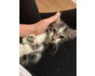 Adopt Meatball a Black & White or Tuxedo Maine Coon cat in Lorton, VA (31674012)