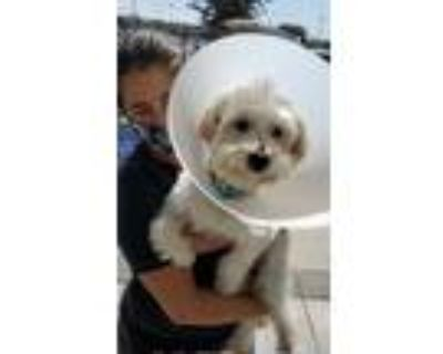 Adopt Lucky in Love a Maltipoo