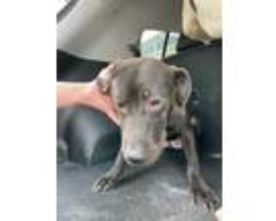 Adopt MILAN a Black - with White American Pit Bull Terrier / Mixed dog in