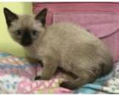 Adopt Feather a Gray or Blue (Mostly) Siamese / Mixed (short coat) cat in