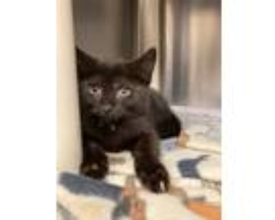 Adopt Scoville a Domestic Shorthair / Mixed cat in Richmond, VA (31692129)