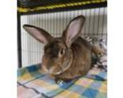 Adopt Mr. Celery Seed a Chocolate American / American / Mixed rabbit in Norfolk