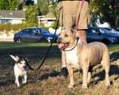 Adopt Blue a Tan/Yellow/Fawn American Pit Bull Terrier / Mixed dog in Simi