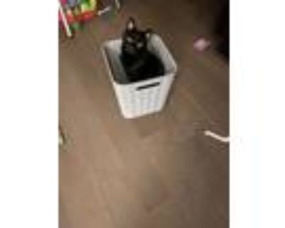 Adopt Sombra a All Black American Shorthair / Mixed (short coat) cat in Stone