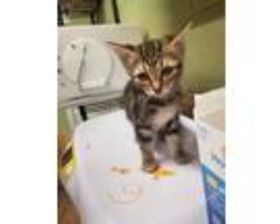 Adopt TOOTIE a Brown Tabby Domestic Shorthair / Mixed (short coat) cat in