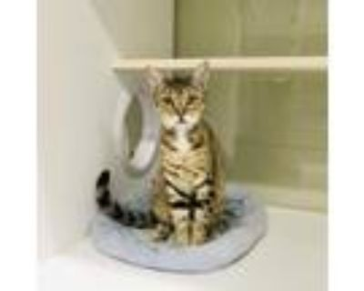 Adopt Shades a Orange or Red Domestic Shorthair / Mixed cat in League City
