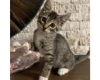 Adopt Amethyst a Domestic Short Hair