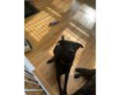 Adopt Lando a Black Labrador Retriever / Akbash / Mixed dog in Hanover