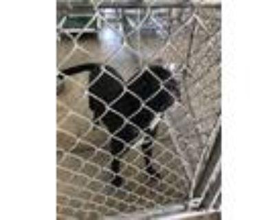 Adopt Finn a Black Labrador Retriever