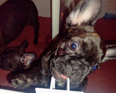 Beautiful AKC French Bulldog puppies available