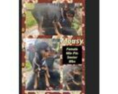 Adopt Mousy a Black Miniature Pinscher / Mixed dog in El Dorado, KS (31371040)