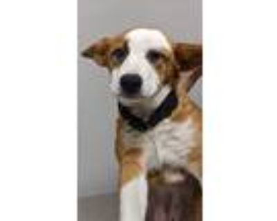 Adopt Cadillac a Collie, Mixed Breed