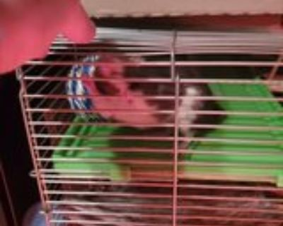 fancy rats and huge cage