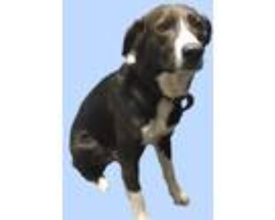 Adopt *JOKER a Black - with White Border Collie / Mixed dog in Long Beach