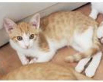 Adopt Chonk a Orange or Red (Mostly) Domestic Shorthair (short coat) cat in