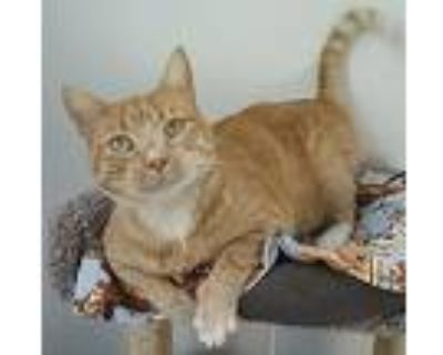 Goldfish, Domestic Shorthair For Adoption In League City, Texas