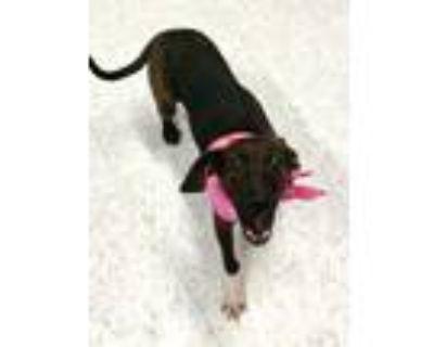 Adopt Harrison a Black Labrador Retriever / Mixed dog in Binghamton
