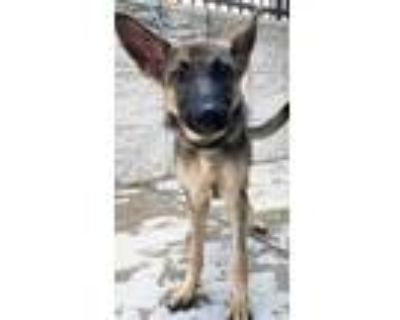Adopt Miley a Brown/Chocolate Belgian Malinois / Mixed dog in Cedar Hill