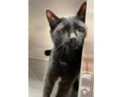 Adopt Billie Jean a All Black Domestic Shorthair / Domestic Shorthair / Mixed
