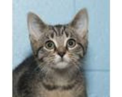 Adopt Tofu a Tiger Striped Domestic Shorthair (short coat) cat in Troy