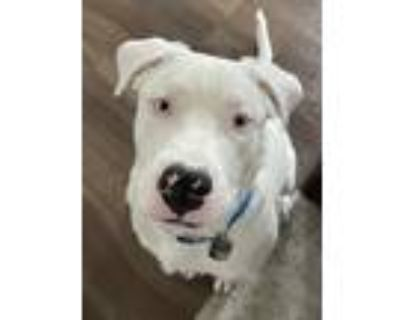 Adopt Milo a White American Pit Bull Terrier / St. Bernard / Mixed dog in