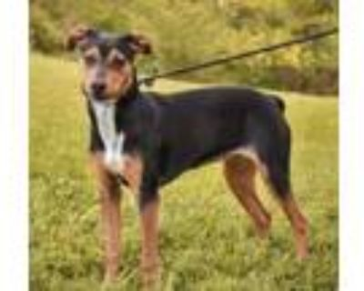 Adopt Nellie a Rat Terrier, Mixed Breed