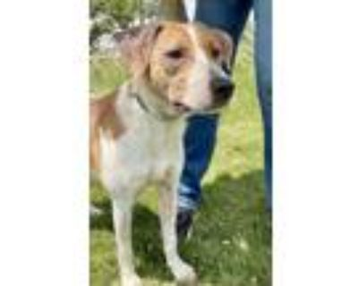 Adopt Rookie a Setter (Unknown Type) / Hound (Unknown Type) / Mixed dog in