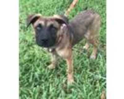 Adopt Walnut a Brown/Chocolate - with Black German Shepherd Dog / Mixed dog in