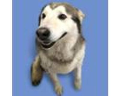 Adopt Demitry a White - with Tan, Yellow or Fawn Husky dog in Colorado Springs