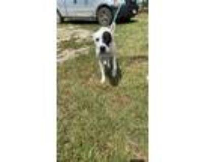 Adopt Chief a White - with Black Labrador Retriever dog in Dallas, TX (32527150)