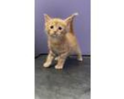 Adopt Finis21 a Orange or Red Tabby Domestic Shorthair (short coat) cat in