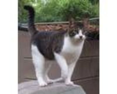 Adopt Austin a Brown Tabby Domestic Shorthair / Mixed (short coat) cat in