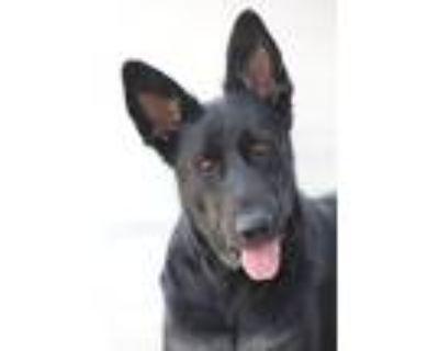 Adopt Gypsy von Greiz a Black - with Tan, Yellow or Fawn German Shepherd Dog /