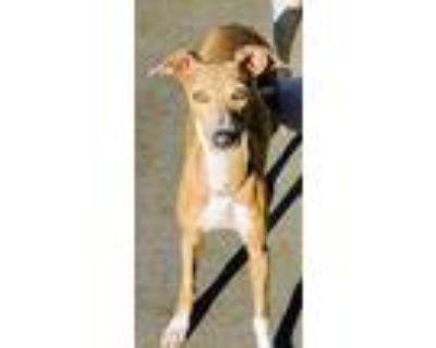 Adopt Josie a Tan/Yellow/Fawn Italian Greyhound / Mixed dog in St.