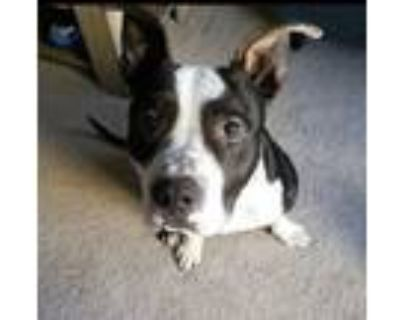 Adopt Patches a Pit Bull Terrier