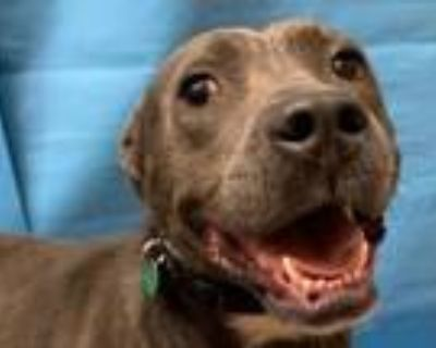 Adopt Billy a Pit Bull Terrier, Mixed Breed