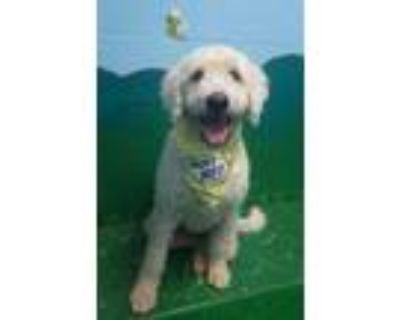 Adopt Eva a White Golden Retriever / Poodle (Standard) / Mixed dog in New