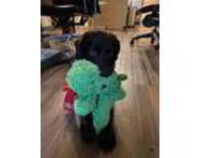 Adopt Sparky a Black Labrador Retriever / Mixed dog in Rowland Heights