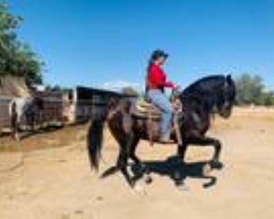 5 year old Ancce registered Andalusian stallion