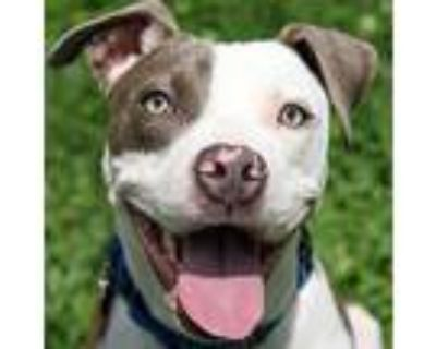 Joey, American Pit Bull Terrier For Adoption In Columbia, Missouri