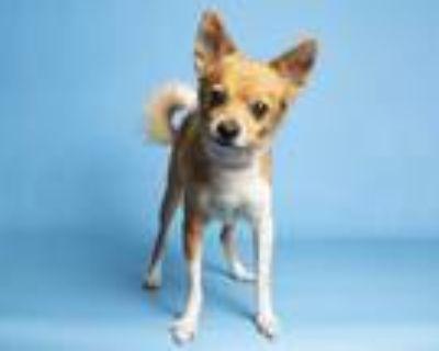 Adopt BONZAI a Tan/Yellow/Fawn - with White Pomeranian / Mixed dog in Phoenix