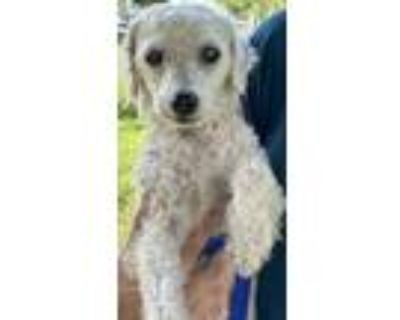Adopt Urgent!!! Poodle in need a Poodle, Mixed Breed