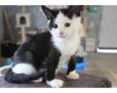 Adopt T-Rex a All Black Domestic Shorthair / Domestic Shorthair / Mixed cat in