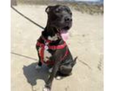 Adopt Mr. Louie a Black - with White Pit Bull Terrier / Mixed dog in Los