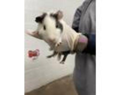 Adopt Scribbles a Guinea Pig